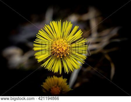 Yellow Coltsfoot Flower In Full Bloom. Close Up Image.