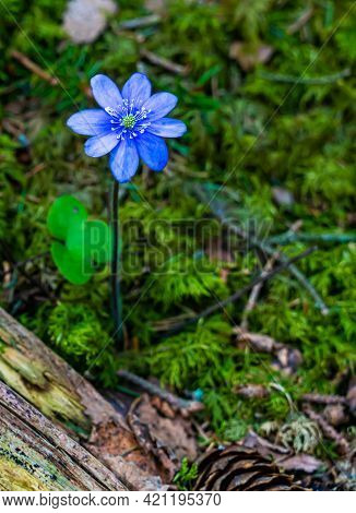 Blue Kidneywort Anemone Flower In The Lush Spring Forest. Shallow Depth Of Field.