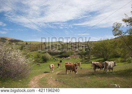 Bucolic Landscape With Grazing Cows Near Campo Imperatore, Abruzzo, Italy
