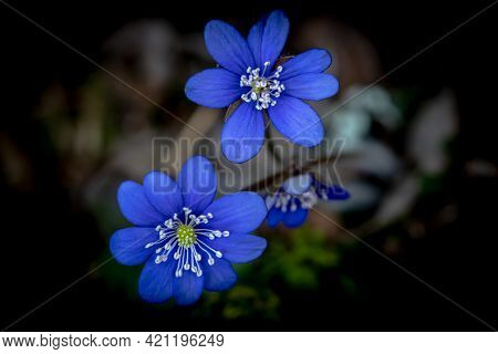 Blue Or Purple Kidneywort Anemone Flower Isolated On Black Background. Shallow Depth Of Field.