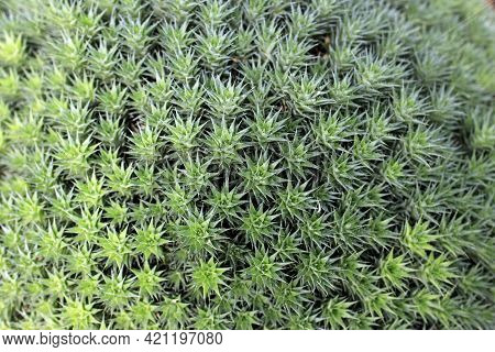 Abromeitiella Chlorantha Is Low Densely Caespitose Perennial Cushion Forming Sub-succulent Herb, Pec