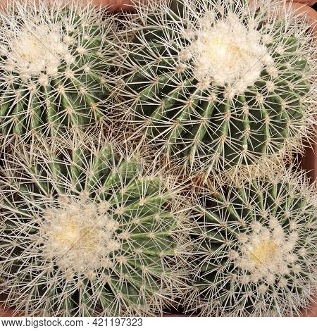 Echinocactus Grusonii, Popularly Known As The Golden Barrel Cactus, Golden Ball Or Mother-in-law's C
