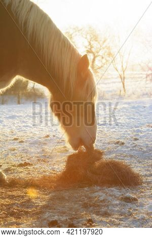 Belgian draft horse eating hay at sunrise on a bright and very cold winter morning; with a slight sunlight filter for a dreamy effect