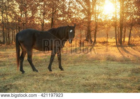 Dark bay Arabian horse in pasture on a late fall morning, with light of rising sun filtering through trees behind him