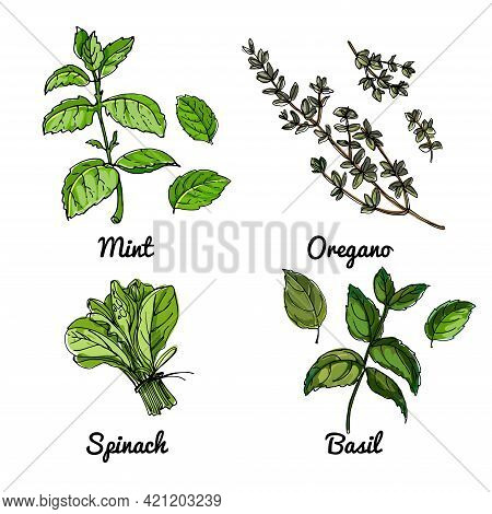 Vector Food Icons Of Vegetables And , Herbs. Colored Sketch Of Food Products. Basil, Oregano, Spinac