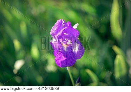 Beautiful Purple Iris Flower Bud (focus On Flower, Bokeh Background)