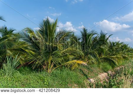 Coconut Palm Trees For Coconut Juice, Drink Coconut Water, Beautiful Coconut Palm Trees Farm In Thai