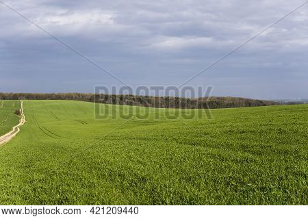 Field Of Young Green Wheat Seedlings. Sprouts Of Young Barley Or Wheat That Have Sprouted In The Soi