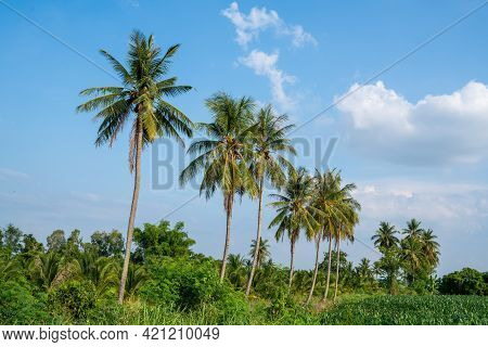 Coconut Palm Trees With A Beautiful Sky, Beautiful Coconut Palm Trees Farm In Thailand