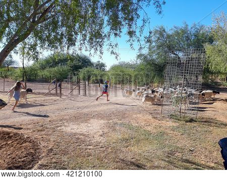 Beaufort West, South Africa - April 4, 2021: Children Chasing Goats And Sheep At Steenbokkie Nature