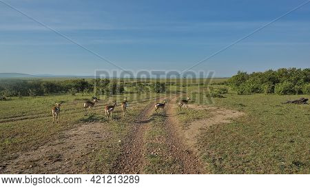 A Group Of Impala Antelopes Runs Across A Dirt Road. Green Grass, Trees, Bushes On The Sides. Clear