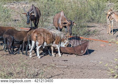 Tsessebe Antilopes And Damara Sheep Grazing At A Trough On A Farm Near Beaufort West In The Western