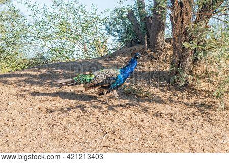 A Peacock Walking Near Beaufort West In The Western Cape Karoo