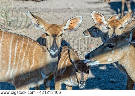 Close-up Of A Herd Of Nyala Ewes Near Beaufort West In The Western Cape Karoo