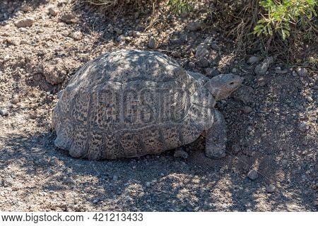 A Leopard Tortoise, Stigmochelys Pardalis, In Shade Near Beaufort West In The Western Cape Karoo