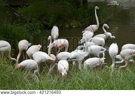 Group Of Flamingos In Captivity At A Zoo By The Water Surrounded By Green Vegetation Looking For Foo