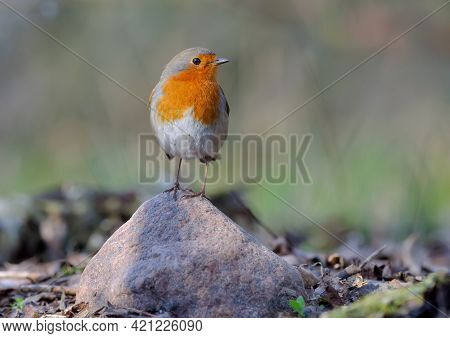 Adult European Robin (erithacus Rubecula) Posing On Top Of Small Rock With Sweet Evening Light
