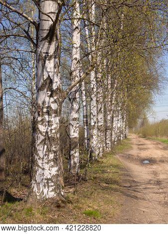 Birch Alley On A Sunny Spring Day