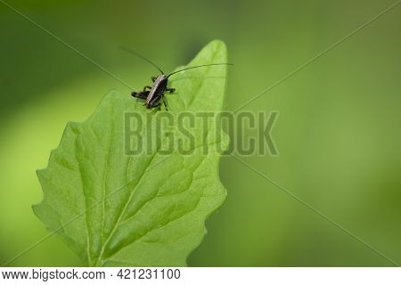 Tettigonioidea. Insect Sits On A Leaf. Small Grasshopper Sits On A Twig On A Green Background. The G