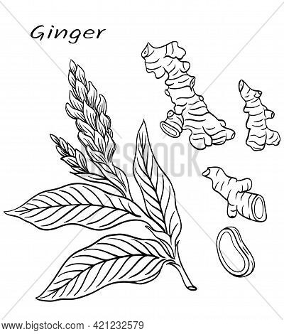 Ginger (zīngiber Officināle), Spice, Plant Flower Roots, Black And White Vector Graphic Drawing.