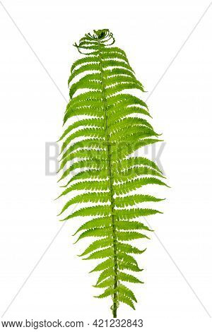 A Green Leaf Of A Garden Ornamental Fern With Many Small Branches Twisted Closer To The Edges, Isola