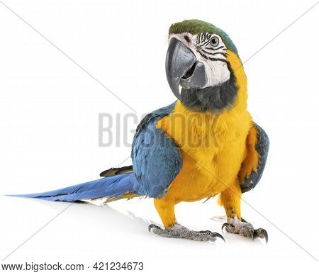 Parrot In Studio, Striking Colors, Great Size And Appearance