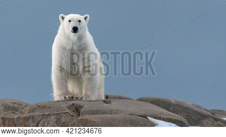 Polar Bear Sitting On A Hill, White Fur, Great Bearing And Appearance
