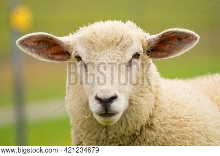 Sheep's Face In A Valley, White Fur, Great Bearing And Appearance