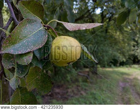 Close Up Of Single Ripe Yellow Pear Hanging On Branch, Pesticide Free Farming In Countryside