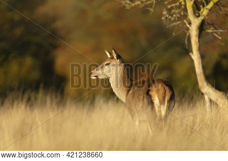 Close Up Of A Red Deer Hind Standing In A Field Of Grass In Autumn, Uk.