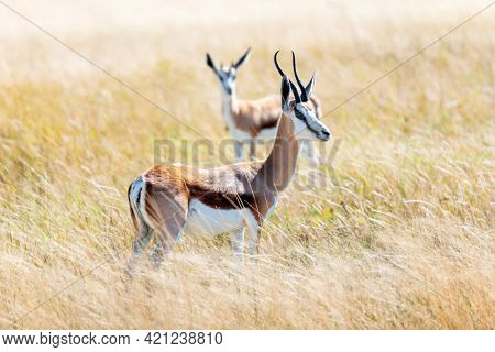 Couple of black-faced impala in african savanna