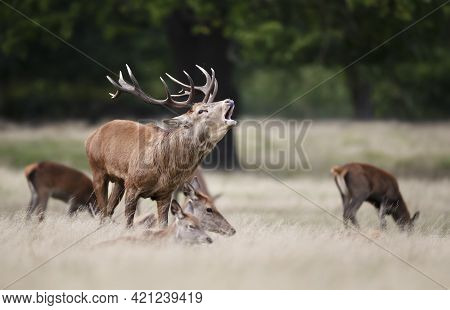 Close Up Of A Red Deer With A Group Of Hinds During Rutting Season In Autumn, Uk.
