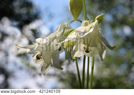 Close Up Image Of A Group Of Pure White Aquilegia Flowers, Sunlit Outdoors In A Natural Setting. Als