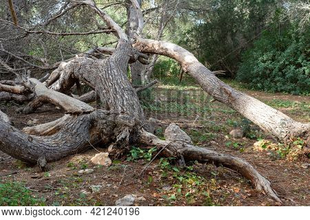Trunks, Of Trees, Fallen In The Forest