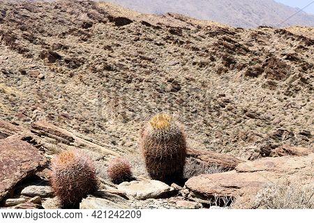 Barrel Cacti Plants On A Rugged Mountain Ridge Overlooking Arid Badlands Taken At The Rural Colorado