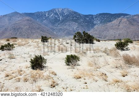 Creosote Bush On Sand Dunes With Mt San Jacinto Beyond Taken At The Arid Colorado Desert In Palm Spr
