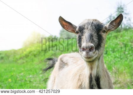 Portrait Of A Brown Goat. A Goat Grazes On A Pasture In A Meadow. The Goat Looks Directly At The Cam