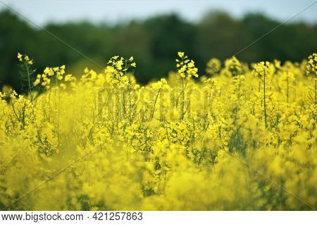Close Up Of Some Yellow Rapeseed Blossoms Against A Rapeseed Field