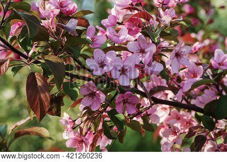Cherry Plum Tree Blossom In Spring Garden - Prunus Cerasifera