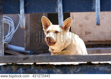 Angry Dog Walks Behind The Fence And Barks