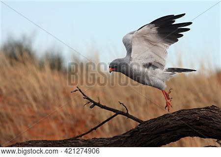 The Southern Pale Chanting Goshawk (melierax Canorus) Landing On The Branch And Watching Around. The