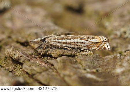Closeup Of A Micro Moth , The Hook-streak Grass Veneer, Crambus Lathoniellus, On A Piece Of Wood