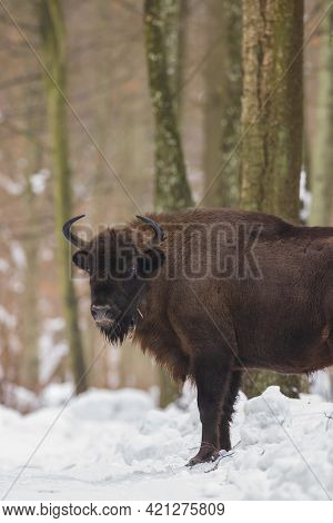 Free Ranging European Bison Female In Wintertime Forest, Bialowieza Forest, Poland, Europe