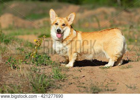 Smiling Pembroke Welsh Corgi Puppy Looking At Camera Summer Time
