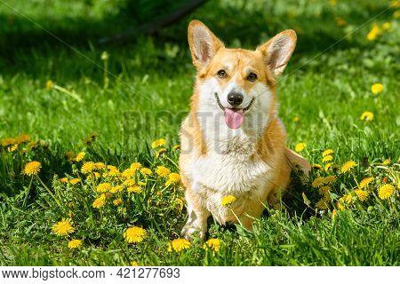 Smiling Pembroke Welsh Corgi Puppy In The Grass Dandelion Garden