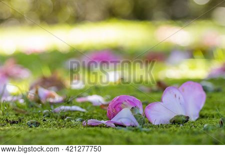Flower Leaves On Ground, Camelia Petals, In Park Terra Nostra, Azores.