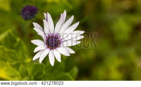 Isolated White And Purple Flower, Margaret Close Up.