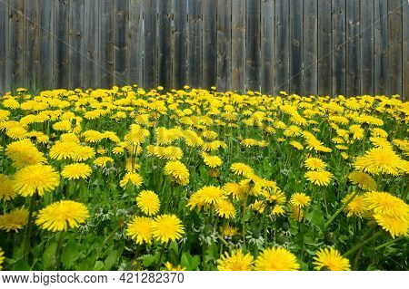 Lot Of Blooming Yellow Dandelions As Natural Background Before Brown Wooden Fence Front View Closeup