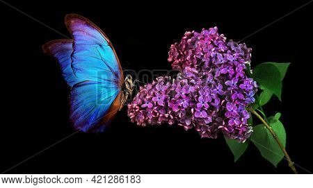 Beautiful Blue Morpho Butterfly On A Flower On A Black Background. Lilac Flower In Dew Drops Isolate