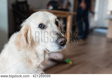 Friendly White Dog Of Golden Retriever Breed Looking At Camera With A Gesture Of Guilt.